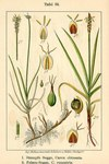 "Stumpfe Segge - Carex obtusata; Bildquelle: <a href=""https://www.pflanzen-deutschland.de/quellen.php?bild_quelle=Deutschlands Flora in Abbildungen 1796"">Deutschlands Flora in Abbildungen 1796</a>; Bildlizenz: <a href=""https://creativecommons.org/licenses/publicdomain/deed.de"" target=_blank title=""Public Domain"">Public Domain</a>;"