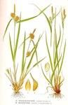 "Bleiche Segge - Carex pallescens; Bildquelle: <a href=""https://www.pflanzen-deutschland.de/quellen.php?bild_quelle=Carl Axel Magnus Lindman Bilder ur Nordens Flora 1901-1905"">Carl Axel Magnus Lindman Bilder ur Nordens Flora 1901-1905</a>; Bildlizenz: <a href=""https://creativecommons.org/licenses/publicdomain/deed.de"" target=_blank title=""Public Domain"">Public Domain</a>;"