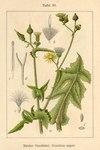 "Rauhe Gänsedistel - Sonchus asper; Bildquelle: <a href=""https://www.pflanzen-deutschland.de/quellen.php?bild_quelle=Deutschlands Flora in Abbildungen 1796"">Deutschlands Flora in Abbildungen 1796</a>; Bildlizenz: <a href=""https://creativecommons.org/licenses/publicdomain/deed.de"" target=_blank title=""Public Domain"">Public Domain</a>;"