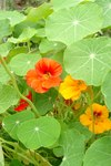 "Kapuzinerkresse - Tropaeolum majus; Bildquelle: © <a href=""https://www.pflanzen-deutschland.de/quellen.php?bild_quelle=Bönisch 2009"">Bönisch 2009</a> - <b>All rights reserved</b>"
