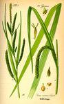 """Hänge-Segge - Carex pendula; Bildquelle: <a href=""""https://www.pflanzen-deutschland.de/quellen.php?bild_quelle=Prof. Dr. Otto Wilhelm Thome Flora von Deutschland, Österreich und der Schweiz 1885, Gera, Germany"""">Prof. Dr. Otto Wilhelm Thome Flora von Deutschland, Österreich und der Schweiz 1885, Gera, Germany</a>; Bildlizenz: <a href=""""https://creativecommons.org/licenses/publicdomain/deed.de"""" target=_blank title=""""Public Domain"""">Public Domain</a>;"""