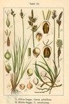 """Pillen-Segge - Carex pilulifera; Bildquelle: <a href=""""https://www.pflanzen-deutschland.de/quellen.php?bild_quelle=Deutschlands Flora in Abbildungen, Johann Georg Sturm 1796"""">Deutschlands Flora in Abbildungen, Johann Georg Sturm 1796</a>; Bildlizenz: <a href=""""https://creativecommons.org/licenses/publicdomain/deed.de"""" target=_blank title=""""Public Domain"""">Public Domain</a>;"""