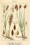 "Frühe Segge - Carex praecox; Bildquelle: <a href=""https://www.pflanzen-deutschland.de/quellen.php?bild_quelle=Deutschlands Flora in Abbildungen 1796"">Deutschlands Flora in Abbildungen 1796</a>; Bildlizenz: <a href=""https://creativecommons.org/licenses/publicdomain/deed.de"" target=_blank title=""Public Domain"">Public Domain</a>;"