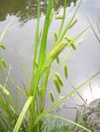 """Scheinzypergras-Segge - Carex pseudocyperus; Bildquelle: <a href=""""https://www.pflanzen-deutschland.de/quellen.php?bild_quelle=Wikipedia User Aroche"""">Wikipedia User Aroche</a>; Bildlizenz: <a href=""""https://creativecommons.org/licenses/by-sa/2.5/deed.de"""" target=_blank title=""""Namensnennung - Weitergabe unter gleichen Bedingungen 2.5 Unported (CC BY-SA 2.5)"""">CC BY 2.5</a>; <br>Wiki Commons Bildbeschreibung: <a href=""""https://commons.wikimedia.org/wiki/File:Carex_pseudocyperus2.jpg"""" target=_blank title=""""https://commons.wikimedia.org/wiki/File:Carex_pseudocyperus2.jpg"""">https://commons.wikimedia.org/wiki/File:Carex_pseudocyperus2.jpg</a>"""