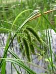 """Scheinzypergras-Segge - Carex pseudocyperus; Bildquelle: <a href=""""https://www.pflanzen-deutschland.de/quellen.php?bild_quelle=Wikipedia User Fabelfroh"""">Wikipedia User Fabelfroh</a>; Bildlizenz: <a href=""""https://creativecommons.org/licenses/by-sa/3.0/deed.de"""" target=_blank title=""""Namensnennung - Weitergabe unter gleichen Bedingungen 3.0 Unported (CC BY-SA 3.0)"""">CC BY-SA 3.0</a>; <br>Wiki Commons Bildbeschreibung: <a href=""""https://commons.wikimedia.org/wiki/File:Carex_pseudocyperus.jpeg"""" target=_blank title=""""https://commons.wikimedia.org/wiki/File:Carex_pseudocyperus.jpeg"""">https://commons.wikimedia.org/wiki/File:Carex_pseudocyperus.jpeg</a>"""