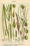 "Scheinzypergras-Segge - Carex pseudocyperus; Bildquelle: <a href=""https://www.pflanzen-deutschland.de/quellen.php?bild_quelle=Deutschlands Flora in Abbildungen 1796"">Deutschlands Flora in Abbildungen 1796</a>; Bildlizenz: <a href=""https://creativecommons.org/licenses/publicdomain/deed.de"" target=_blank title=""Public Domain"">Public Domain</a>;"