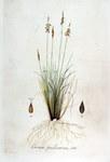 """Floh-Segge - Carex pulicaris; Bildquelle: <a href=""""https://www.pflanzen-deutschland.de/quellen.php?bild_quelle=Flora Batava of Jan Kops  17651849 VIII Deel. 1844"""">Flora Batava of Jan Kops  17651849 VIII Deel. 1844</a>; Bildlizenz: <a href=""""https://creativecommons.org/licenses/publicdomain/deed.de"""" target=_blank title=""""Public Domain"""">Public Domain</a>;"""