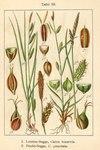 "Punktierte Segge - Carex punctata; Bildquelle: <a href=""https://www.pflanzen-deutschland.de/quellen.php?bild_quelle=Deutschlands Flora in Abbildungen 1796"">Deutschlands Flora in Abbildungen 1796</a>; Bildlizenz: <a href=""https://creativecommons.org/licenses/publicdomain/deed.de"" target=_blank title=""Public Domain"">Public Domain</a>;"