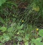 """Winkel-Segge - Carex remota; Bildquelle: <a href=""""https://www.pflanzen-deutschland.de/quellen.php?bild_quelle=Wikipedia User Franz Xaver"""">Wikipedia User Franz Xaver</a>; Bildlizenz: <a href=""""https://creativecommons.org/licenses/by-sa/3.0/deed.de"""" target=_blank title=""""Namensnennung - Weitergabe unter gleichen Bedingungen 3.0 Unported (CC BY-SA 3.0)"""">CC BY-SA 3.0</a>; <br>Wiki Commons Bildbeschreibung: <a href=""""https://commons.wikimedia.org/wiki/File:Carex_remota_3.jpg"""" target=_blank title=""""https://commons.wikimedia.org/wiki/File:Carex_remota_3.jpg"""">https://commons.wikimedia.org/wiki/File:Carex_remota_3.jpg</a>"""