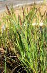 "Ufer-Segge - Carex riparia; Bildquelle: <a href=""https://www.pflanzen-deutschland.de/quellen.php?bild_quelle=Wikipedia User Karelj"">Wikipedia User Karelj</a>; Bildlizenz: <a href=""https://creativecommons.org/publicdomain/zero/1.0/deed.de"" target=_blank title=""CC0 1.0 Universell (CC0 1.0)"">CC0 1.0</a>; <br>Wiki Commons Bildbeschreibung: <a href=""https://commons.wikimedia.org/wiki/File:Carex_riparia_Prague_2014_1.jpg"" target=_blank title=""https://commons.wikimedia.org/wiki/File:Carex_riparia_Prague_2014_1.jpg"">https://commons.wikimedia.org/wiki/File:Carex_riparia_Prague_2014_1.jpg</a>"