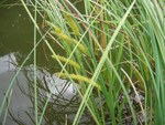 "Schnabel-Segge - Carex rostrata; Bildquelle: <a href=""https://www.pflanzen-deutschland.de/quellen.php?bild_quelle=Wikipedia User Fabelfroh"">Wikipedia User Fabelfroh</a>; Bildlizenz: <a href=""https://creativecommons.org/licenses/by-sa/3.0/deed.de"" target=_blank title=""Namensnennung - Weitergabe unter gleichen Bedingungen 3.0 Unported (CC BY-SA 3.0)"">CC BY-SA 3.0</a>; <br>Wiki Commons Bildbeschreibung: <a href=""https://commons.wikimedia.org/wiki/File:Carex_rostrata.jpeg"" target=_blank title=""https://commons.wikimedia.org/wiki/File:Carex_rostrata.jpeg"">https://commons.wikimedia.org/wiki/File:Carex_rostrata.jpeg</a>"