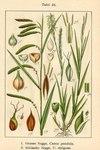"Dünnährige Segge - Carex strigosa; Bildquelle: <a href=""https://www.pflanzen-deutschland.de/quellen.php?bild_quelle=Deutschlands Flora in Abbildungen 1796"">Deutschlands Flora in Abbildungen 1796</a>; Bildlizenz: <a href=""https://creativecommons.org/licenses/publicdomain/deed.de"" target=_blank title=""Public Domain"">Public Domain</a>;"