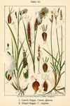 "Niedrige Segge - Carex supina; Bildquelle: <a href=""https://www.pflanzen-deutschland.de/quellen.php?bild_quelle=Deutschlands Flora in Abbildungen 1796"">Deutschlands Flora in Abbildungen 1796</a>; Bildlizenz: <a href=""https://creativecommons.org/licenses/publicdomain/deed.de"" target=_blank title=""Public Domain"">Public Domain</a>;"