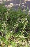 """Gewöhnliches Hirtentäschel - Capsella bursa-pastoris; Bildquelle: <a href=""""http://www.pflanzen-deutschland.de/quellen.php?bild_quelle=Wikipedia User Dysmorodrepanis"""">Wikipedia User Dysmorodrepanis</a>; Bildlizenz: <a href=""""https://creativecommons.org/licenses/by-sa/3.0/deed.de"""" target=_blank title=""""Namensnennung - Weitergabe unter gleichen Bedingungen 3.0 Unported (CC BY-SA 3.0)"""">CC BY-SA 3.0</a>;"""
