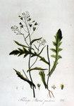 """Gewöhnliches Hirtentäschel - Capsella bursa-pastoris; Bildquelle: <a href=""""http://www.pflanzen-deutschland.de/quellen.php?bild_quelle=Jan Kops, Flora Batava, Volume 2 1807"""">Jan Kops, Flora Batava, Volume 2 1807</a>; Bildlizenz: <a href=""""https://creativecommons.org/licenses/by-sa/3.0/deed.de"""" target=_blank title=""""Namensnennung - Weitergabe unter gleichen Bedingungen 3.0 Unported (CC BY-SA 3.0)"""">CC BY-SA 3.0</a>;"""