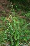 """Wald-Segge - Carex sylvatica; Bildquelle: <a href=""""https://www.pflanzen-deutschland.de/quellen.php?bild_quelle=Wikipedia User Franz Xaver"""">Wikipedia User Franz Xaver</a>; Bildlizenz: <a href=""""https://creativecommons.org/licenses/by-sa/3.0/deed.de"""" target=_blank title=""""Namensnennung - Weitergabe unter gleichen Bedingungen 3.0 Unported (CC BY-SA 3.0)"""">CC BY-SA 3.0</a>; <br>Wiki Commons Bildbeschreibung: <a href=""""https://commons.wikimedia.org/wiki/File:Carex_sylvatica.jpg"""" target=_blank title=""""https://commons.wikimedia.org/wiki/File:Carex_sylvatica.jpg"""">https://commons.wikimedia.org/wiki/File:Carex_sylvatica.jpg</a>"""