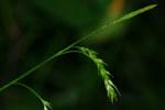 """Wald-Segge - Carex sylvatica; Bildquelle: <a href=""""https://www.pflanzen-deutschland.de/quellen.php?bild_quelle=Wikipedia User Krucku"""">Wikipedia User Krucku</a>; Bildlizenz: <a href=""""https://creativecommons.org/licenses/by-sa/3.0/deed.de"""" target=_blank title=""""Namensnennung - Weitergabe unter gleichen Bedingungen 3.0 Unported (CC BY-SA 3.0)"""">CC BY-SA 3.0</a>; <br>Wiki Commons Bildbeschreibung: <a href=""""https://commons.wikimedia.org/wiki/File:Carex_sylvatica_03.jpg"""" target=_blank title=""""https://commons.wikimedia.org/wiki/File:Carex_sylvatica_03.jpg"""">https://commons.wikimedia.org/wiki/File:Carex_sylvatica_03.jpg</a>"""