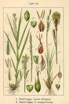 "Wald-Segge - Carex sylvatica; Bildquelle: <a href=""https://www.pflanzen-deutschland.de/quellen.php?bild_quelle=Deutschlands Flora in Abbildungen 1796"">Deutschlands Flora in Abbildungen 1796</a>; Bildlizenz: <a href=""https://creativecommons.org/licenses/publicdomain/deed.de"" target=_blank title=""Public Domain"">Public Domain</a>;"