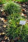 """Fuchs-Segge - Carex vulpina; Bildquelle: <a href=""""https://www.pflanzen-deutschland.de/quellen.php?bild_quelle=Wikipedia User Daderot"""">Wikipedia User Daderot</a>; Bildlizenz: <a href=""""https://creativecommons.org/publicdomain/zero/1.0/deed.de"""" target=_blank title=""""CC0 1.0 Universell (CC0 1.0)"""">CC0 1.0</a>; <br>Wiki Commons Bildbeschreibung: <a href=""""https://commons.wikimedia.org/wiki/File:Carex_vulpina_-_Botanischer_Garten_Braunschweig_-_Braunschweig,_Germany_-_DSC04388.JPG"""" target=_blank title=""""https://commons.wikimedia.org/wiki/File:Carex_vulpina_-_Botanischer_Garten_Braunschweig_-_Braunschweig,_Germany_-_DSC04388.JPG"""">https://commons.wikimedia.org/wiki/File:Carex_vulpina_-_Botanischer_Garten_Braunschweig_-_Braunschweig,_Germany_-_DSC04388.JPG</a>"""
