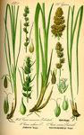 """Fuchs-Segge - Carex vulpina; Bildquelle: <a href=""""https://www.pflanzen-deutschland.de/quellen.php?bild_quelle=Prof. Dr. Otto Wilhelm Thome Flora von Deutschland, Österreich und der Schweiz 1885, Gera, Germany"""">Prof. Dr. Otto Wilhelm Thome Flora von Deutschland, Österreich und der Schweiz 1885, Gera, Germany</a>; Bildlizenz: <a href=""""https://creativecommons.org/licenses/publicdomain/deed.de"""" target=_blank title=""""Public Domain"""">Public Domain</a>;"""