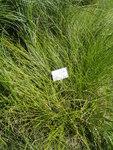 """Fuchsseggenähnliche Segge - Carex vulpinoidea; Bildquelle: <a href=""""https://www.pflanzen-deutschland.de/quellen.php?bild_quelle=Wikipedia User Daderot"""">Wikipedia User Daderot</a>; Bildlizenz: <a href=""""https://creativecommons.org/licenses/by-sa/3.0/deed.de"""" target=_blank title=""""Namensnennung - Weitergabe unter gleichen Bedingungen 3.0 Unported (CC BY-SA 3.0)"""">CC BY-SA 3.0</a>; <br>Wiki Commons Bildbeschreibung: <a href=""""https://commons.wikimedia.org/wiki/File:Carex_vulpinoidea_-_Botanical_Garden_in_Kaisaniemi,_Helsinki_-_DSC03533.JPG"""" target=_blank title=""""https://commons.wikimedia.org/wiki/File:Carex_vulpinoidea_-_Botanical_Garden_in_Kaisaniemi,_Helsinki_-_DSC03533.JPG"""">https://commons.wikimedia.org/wiki/File:Carex_vulpinoidea_-_Botanical_Garden_in_Kaisaniemi,_Helsinki_-_DSC03533.JPG</a>"""