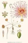 "Rundblättriger Sonnentau - Drosera rotundifolia; Bildquelle: <a href=""https://www.pflanzen-deutschland.de/quellen.php?bild_quelle=Carl Axel Magnus Lindman Bilder ur Nordens Flora 1901-1905"">Carl Axel Magnus Lindman Bilder ur Nordens Flora 1901-1905</a>; Bildlizenz: <a href=""https://creativecommons.org/licenses/publicdomain/deed.de"" target=_blank title=""Public Domain"">Public Domain</a>;"