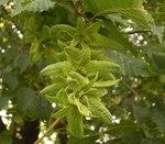 """Hainbuche - Carpinus betulus; Bildquelle: <a href=""""http://www.pflanzen-deutschland.de/quellen.php?bild_quelle=Wikipedia User Ies"""">Wikipedia User Ies</a>; Bildlizenz: <a href=""""https://creativecommons.org/licenses/by-sa/3.0/deed.de"""" target=_blank title=""""Namensnennung - Weitergabe unter gleichen Bedingungen 3.0 Unported (CC BY-SA 3.0)"""">CC BY-SA 3.0</a>;"""