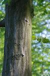 """Hainbuche - Carpinus betulus; Bildquelle: <a href=""""http://www.pflanzen-deutschland.de/quellen.php?bild_quelle=Wikipedia User Myrabella"""">Wikipedia User Myrabella</a>; Bildlizenz: <a href=""""https://creativecommons.org/licenses/by-sa/3.0/deed.de"""" target=_blank title=""""Namensnennung - Weitergabe unter gleichen Bedingungen 3.0 Unported (CC BY-SA 3.0)"""">CC BY-SA 3.0</a>;"""