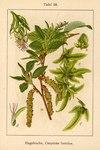 """Hainbuche - Carpinus betulus; Bildquelle: <a href=""""http://www.pflanzen-deutschland.de/quellen.php?bild_quelle=Deutschlands Flora in Abbildungen 1796"""">Deutschlands Flora in Abbildungen 1796</a>; Bildlizenz: <a href=""""https://creativecommons.org/licenses/publicdomain/deed.de"""" target=_blank title=""""Public Domain"""">Public Domain</a>;"""