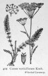 "Quirlblättriger Kümmel - Carum verticillatum; Bildquelle: <a href=""https://www.pflanzen-deutschland.de/quellen.php?bild_quelle=Illustrations of the British Flora 1924 - Walter Hood Fitch"">Illustrations of the British Flora 1924 - Walter Hood Fitch</a>; Bildlizenz: <a href=""https://creativecommons.org/licenses/publicdomain/deed.de"" target=_blank title=""Public Domain"">Public Domain</a>;"