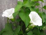 """Echte Zaunwinde - Calystegia sepium; Bildquelle: © <a href=""""https://www.pflanzen-deutschland.de/quellen.php?bild_quelle=Bönisch 2012"""">Bönisch 2012</a> - <b>All rights reserved</b>"""