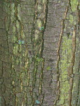 "Eßkastanie - Castanea sativa; Bildquelle: <a href=""https://www.pflanzen-deutschland.de/quellen.php?bild_quelle=Wikipedia User H. Zell "">Wikipedia User H. Zell </a>; Bildlizenz: <a href=""https://creativecommons.org/licenses/by-sa/3.0/deed.de"" target=_blank title=""Namensnennung - Weitergabe unter gleichen Bedingungen 3.0 Unported (CC BY-SA 3.0)"">CC BY-SA 3.0</a>; <br>Wiki Commons Bildbeschreibung: <a href=""https://commons.wikimedia.org/wiki/File:Castanea_sativa_0008.JPG"" target=_blank title=""https://commons.wikimedia.org/wiki/File:Castanea_sativa_0008.JPG"">https://commons.wikimedia.org/wiki/File:Castanea_sativa_0008.JPG</a>"
