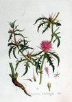"""Stern Flockenblume - Centaurea calcitrapa; Bildquelle: <a href=""""https://www.pflanzen-deutschland.de/quellen.php?bild_quelle=Jan Kops, Flora Batava, Volume 2 1807"""">Jan Kops, Flora Batava, Volume 2 1807</a>; Bildlizenz: <a href=""""https://creativecommons.org/licenses/by-sa/3.0/deed.de"""" target=_blank title=""""Namensnennung - Weitergabe unter gleichen Bedingungen 3.0 Unported (CC BY-SA 3.0)"""">CC BY-SA 3.0</a>;"""