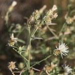 """Sparrige Flockenblume - Centaurea diffusa; Bildquelle: <a href=""""https://www.pflanzen-deutschland.de/quellen.php?bild_quelle=Wikipedia User Franz Xaver"""">Wikipedia User Franz Xaver</a>; Bildlizenz: <a href=""""https://creativecommons.org/licenses/by-sa/3.0/deed.de"""" target=_blank title=""""Namensnennung - Weitergabe unter gleichen Bedingungen 3.0 Unported (CC BY-SA 3.0)"""">CC BY-SA 3.0</a>; <br>Wiki Commons Bildbeschreibung: <a href=""""https://commons.wikimedia.org/wiki/File:Centaurea_diffusa_1.jpg"""" target=_blank title=""""https://commons.wikimedia.org/wiki/File:Centaurea_diffusa_1.jpg"""">https://commons.wikimedia.org/wiki/File:Centaurea_diffusa_1.jpg</a>"""