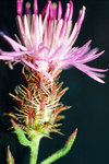 """Sparrige Flockenblume - Centaurea diffusa; Bildquelle: <a href=""""https://www.pflanzen-deutschland.de/quellen.php?bild_quelle=Wikipedia User Nonenmac"""">Wikipedia User Nonenmac</a>; Bildlizenz: <a href=""""https://creativecommons.org/licenses/by-sa/3.0/deed.de"""" target=_blank title=""""Namensnennung - Weitergabe unter gleichen Bedingungen 3.0 Unported (CC BY-SA 3.0)"""">CC BY-SA 3.0</a>; <br>Wiki Commons Bildbeschreibung: <a href=""""https://commons.wikimedia.org/wiki/File:Centaurea_diffusa_1459254.jpg"""" target=_blank title=""""https://commons.wikimedia.org/wiki/File:Centaurea_diffusa_1459254.jpg"""">https://commons.wikimedia.org/wiki/File:Centaurea_diffusa_1459254.jpg</a>"""