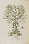 "Sparrige Flockenblume - Centaurea diffusa; Bildquelle: <a href=""https://www.pflanzen-deutschland.de/quellen.php?bild_quelle=Wikipedia User Oceancetaceen"">Wikipedia User Oceancetaceen</a>; Bildlizenz: <a href=""https://creativecommons.org/licenses/publicdomain/deed.de"" target=_blank title=""Public Domain"">Public Domain</a>;"