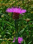"""Wiesen Flockenblume - Centaurea jacea; Bildquelle: <a href=""""https://www.pflanzen-deutschland.de/quellen.php?bild_quelle=Wikipedia User Llez"""">Wikipedia User Llez</a>; Bildlizenz: <a href=""""https://creativecommons.org/licenses/by-sa/1.2/deed.de"""" target=_blank title=""""Namensnennung - Weitergabe unter gleichen Bedingungen 1.2 Unported (CC BY-SA 1.2)"""">CC BY 1.2</a>; <br>Wiki Commons Bildbeschreibung: <a href=""""https://commons.wikimedia.org/wiki/File:Centaurea_jacea_002.jpg"""" target=_blank title=""""https://commons.wikimedia.org/wiki/File:Centaurea_jacea_002.jpg"""">https://commons.wikimedia.org/wiki/File:Centaurea_jacea_002.jpg</a>"""