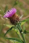 """Wiesen Flockenblume - Centaurea jacea; Bildquelle: <a href=""""https://www.pflanzen-deutschland.de/quellen.php?bild_quelle=Wikipedia User Rotatebot"""">Wikipedia User Rotatebot</a>; Bildlizenz: <a href=""""https://creativecommons.org/licenses/by-sa/3.0/deed.de"""" target=_blank title=""""Namensnennung - Weitergabe unter gleichen Bedingungen 3.0 Unported (CC BY-SA 3.0)"""">CC BY-SA 3.0</a>; <br>Wiki Commons Bildbeschreibung: <a href=""""https://commons.wikimedia.org/wiki/File:Centaurea_jacea-subsp-decipiens-var-microptilon_bray-sur-somme_80_25062007_6.JPG"""" target=_blank title=""""https://commons.wikimedia.org/wiki/File:Centaurea_jacea-subsp-decipiens-var-microptilon_bray-sur-somme_80_25062007_6.JPG"""">https://commons.wikimedia.org/wiki/File:Centaurea_jacea-subsp-decipiens-var-microptilon_bray-sur-somme_80_25062007_6.JPG</a>"""
