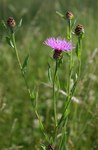 """Wiesen Flockenblume - Centaurea jacea; Bildquelle: <a href=""""https://www.pflanzen-deutschland.de/quellen.php?bild_quelle=Wikipedia User Franz Xaver"""">Wikipedia User Franz Xaver</a>; Bildlizenz: <a href=""""https://creativecommons.org/licenses/by-sa/3.0/deed.de"""" target=_blank title=""""Namensnennung - Weitergabe unter gleichen Bedingungen 3.0 Unported (CC BY-SA 3.0)"""">CC BY-SA 3.0</a>;"""