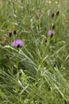 """Wiesen Flockenblume - Centaurea jacea; Bildquelle: <a href=""""https://www.pflanzen-deutschland.de/quellen.php?bild_quelle=Wikipedia User Pichard"""">Wikipedia User Pichard</a>; Bildlizenz: <a href=""""https://creativecommons.org/licenses/by-sa/3.0/deed.de"""" target=_blank title=""""Namensnennung - Weitergabe unter gleichen Bedingungen 3.0 Unported (CC BY-SA 3.0)"""">CC BY-SA 3.0</a>; <br>Wiki Commons Bildbeschreibung: <a href=""""https://commons.wikimedia.org/wiki/File:Centaurea_jacea-subsp-grandiflora_landouzy-la-ville_02_27052007_1.jpg"""" target=_blank title=""""https://commons.wikimedia.org/wiki/File:Centaurea_jacea-subsp-grandiflora_landouzy-la-ville_02_27052007_1.jpg"""">https://commons.wikimedia.org/wiki/File:Centaurea_jacea-subsp-grandiflora_landouzy-la-ville_02_27052007_1.jpg</a>"""