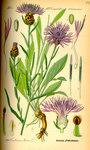 """Wiesen Flockenblume - Centaurea jacea; Bildquelle: <a href=""""https://www.pflanzen-deutschland.de/quellen.php?bild_quelle=Prof. Dr. Otto Wilhelm Thom� Flora von Deutschland, Österreich und der Schweiz 1885, Gera, Germany"""">Prof. Dr. Otto Wilhelm Thom� Flora von Deutschland, Österreich und der Schweiz 1885, Gera, Germany</a>; Bildlizenz: <a href=""""https://creativecommons.org/licenses/publicdomain/deed.de"""" target=_blank title=""""Public Domain"""">Public Domain</a>;"""