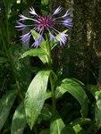 """Berg Flockenblume - Centaurea montana; Bildquelle: <a href=""""https://www.pflanzen-deutschland.de/quellen.php?bild_quelle=Wikipedia User Malte"""">Wikipedia User Malte</a>; Bildlizenz: <a href=""""https://creativecommons.org/licenses/by-sa/3.0/deed.de"""" target=_blank title=""""Namensnennung - Weitergabe unter gleichen Bedingungen 3.0 Unported (CC BY-SA 3.0)"""">CC BY-SA 3.0</a>;"""