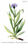"Berg Flockenblume - Centaurea montana; Bildquelle: <a href=""https://www.pflanzen-deutschland.de/quellen.php?bild_quelle=Friedrich Oltmanns Pflanzenleben des Schwarzwaldes Tafeln 1927"">Friedrich Oltmanns Pflanzenleben des Schwarzwaldes Tafeln 1927</a>; Bildlizenz: <a href=""https://creativecommons.org/licenses/publicdomain/deed.de"" target=_blank title=""Public Domain"">Public Domain</a>;"
