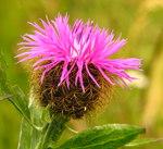 """Phrygische Flockenblume - Centaurea phrygia; Bildquelle: <a href=""""https://www.pflanzen-deutschland.de/quellen.php?bild_quelle=Wikipedia User Bogdan"""">Wikipedia User Bogdan</a>; Bildlizenz: <a href=""""https://creativecommons.org/licenses/by-sa/3.0/deed.de"""" target=_blank title=""""Namensnennung - Weitergabe unter gleichen Bedingungen 3.0 Unported (CC BY-SA 3.0)"""">CC BY-SA 3.0</a>;"""