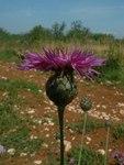 """Skabiosen Flockenblume - Centaurea scabiosa; Bildquelle: <a href=""""https://www.pflanzen-deutschland.de/quellen.php?bild_quelle=Wikipedia User Bilou"""">Wikipedia User Bilou</a>; Bildlizenz: <a href=""""https://creativecommons.org/licenses/by-sa/3.0/deed.de"""" target=_blank title=""""Namensnennung - Weitergabe unter gleichen Bedingungen 3.0 Unported (CC BY-SA 3.0)"""">CC BY-SA 3.0</a>;"""