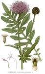 "Skabiosen Flockenblume - Centaurea scabiosa; Bildquelle: <a href=""https://www.pflanzen-deutschland.de/quellen.php?bild_quelle=Carl Axel Magnus Lindman Bilder ur Nordens Flora 1901-1905"">Carl Axel Magnus Lindman Bilder ur Nordens Flora 1901-1905</a>; Bildlizenz: <a href=""https://creativecommons.org/licenses/publicdomain/deed.de"" target=_blank title=""Public Domain"">Public Domain</a>;"