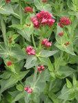 """Rote Spornblume - Centranthus ruber; Bildquelle: &copy; <a href=""""https://www.pflanzen-deutschland.de/quellen.php?bild_quelle=Bönisch 2011"""">Bönisch 2011</a> - <b>All rights reserved</b>"""