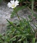 """Alpen-Hornkraut - Cerastium alpinum; Bildquelle: <a href=""""https://www.pflanzen-deutschland.de/quellen.php?bild_quelle=Wikipedia User Enrico Blasutto"""">Wikipedia User Enrico Blasutto</a>; Bildlizenz: <a href=""""https://creativecommons.org/licenses/by-sa/3.0/deed.de"""" target=_blank title=""""Namensnennung - Weitergabe unter gleichen Bedingungen 3.0 Unported (CC BY-SA 3.0)"""">CC BY-SA 3.0</a>;"""
