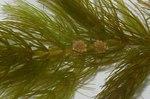 """Rauhes Hornblatt - Ceratophyllum demersum; Bildquelle: <a href=""""https://www.pflanzen-deutschland.de/quellen.php?bild_quelle=Wikipedia User Fice"""">Wikipedia User Fice</a>; Bildlizenz: <a href=""""https://creativecommons.org/licenses/by-sa/3.0/deed.de"""" target=_blank title=""""Namensnennung - Weitergabe unter gleichen Bedingungen 3.0 Unported (CC BY-SA 3.0)"""">CC BY-SA 3.0</a>; <br>Wiki Commons Bildbeschreibung: <a href=""""https://commons.wikimedia.org/wiki/File:Ceratophyllum_demersum_(inflorescence).jpg"""" target=_blank title=""""https://commons.wikimedia.org/wiki/File:Ceratophyllum_demersum_(inflorescence).jpg"""">https://commons.wikimedia.org/wiki/File:Ceratophyllum_demersum_(inflorescence).jpg</a>"""