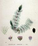 """Zartes Hornblatt - Ceratophyllum submersum; Bildquelle: <a href=""""https://www.pflanzen-deutschland.de/quellen.php?bild_quelle=Wikipedia User FloraUploadR"""">Wikipedia User FloraUploadR</a>; Bildlizenz: <a href=""""https://creativecommons.org/licenses/by-sa/3.0/deed.de"""" target=_blank title=""""Namensnennung - Weitergabe unter gleichen Bedingungen 3.0 Unported (CC BY-SA 3.0)"""">CC BY-SA 3.0</a>;"""